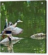 Mallards Taking Off Acrylic Print