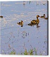 Mama Duck And The Kiddies Acrylic Print