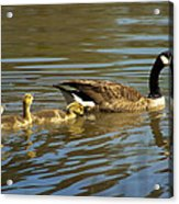 Mama Honker And Goslings Acrylic Print