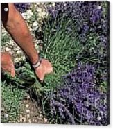 Man Harvesting Lavender Flowers In Field Acrylic Print