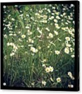 Manchester Daisies Acrylic Print by Chris Jones