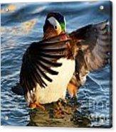 Mandarin Duck Acrylic Print