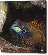Mandarinfish Sheltering Amongst Rocks Acrylic Print