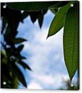 Mango Tree Leaf Acrylic Print