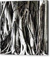 Mangrove Tentacles  Acrylic Print by Douglas Barnard