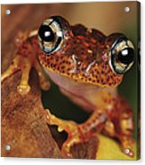Mantellid Frog Boophis Tephraeomystax Acrylic Print