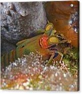 Mantis Shrimp Acrylic Print