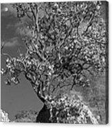 Manzanita Outcrop Acrylic Print