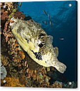 Map Pufferfish, Indonesia Acrylic Print