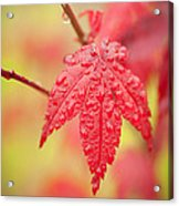 Maple 1 Acrylic Print