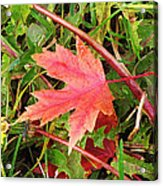 Maple Leaf Forever Acrylic Print