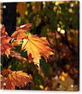 Maple Leaf Glow Acrylic Print by James Hammen