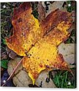 Maple Leaf In Fall Acrylic Print