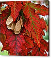 Maple Leaves And Seeds Acrylic Print