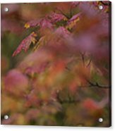 Maple Leaves Are Bright Red On A Rainy Acrylic Print
