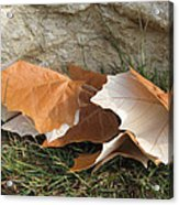 Maple Leaves Contrasted Acrylic Print