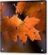 Maple Leaves In The Fall In Middlebury Acrylic Print