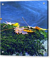 Maple Leaves On Mossy Rock Acrylic Print