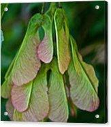 Maple Seed Acrylic Print