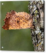 Maple Spanworm Moth Acrylic Print