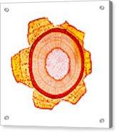 Maple Stem, Light Micrograph Acrylic Print