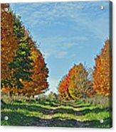Maple Tree Lane Acrylic Print