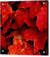 Maples Acrylic Print