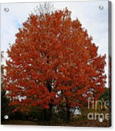 Maples In The Meadow Acrylic Print