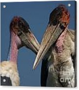 Marabou Storks Acrylic Print