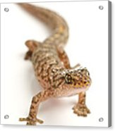 Marbled Gecko Sitting In Studio Looking Acrylic Print