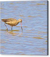 Marbled Godwit Searching For Food Acrylic Print