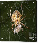 Marbled Orb Weaver Spider Eating Acrylic Print