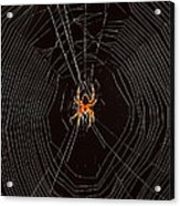 Marbled Orb Weaver Spider Acrylic Print