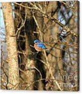 March Bluebird Acrylic Print