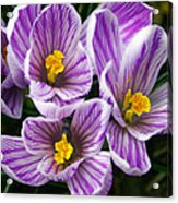 March's Gift Acrylic Print