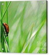 Ladybug In The Meadow Acrylic Print