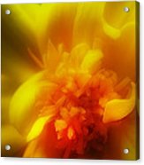 Marigolden Acrylic Print