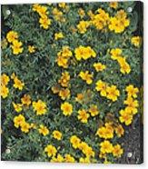 Marigolds (tagetes 'tangerine Gem') Acrylic Print by Adrian Thomas