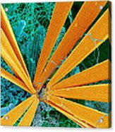 Marine Diatom Algae, Sem Acrylic Print