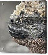 Marine Iguana Amblyrhynchus Cristatus Acrylic Print