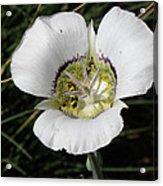 Mariposa Lily And Beetle Acrylic Print