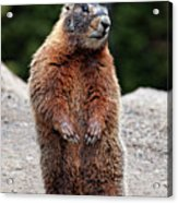 Marmot Rearing Up On Hind Legs In Yellowstone Acrylic Print