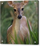 Marsh Deer Blastocerus Dichotomus Acrylic Print