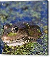 Marsh Frog Acrylic Print by Louise Murray