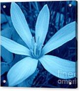 Marsh Grass Flower In Blue Acrylic Print