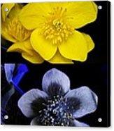 Marsh Marigold In Uv Light Acrylic Print by Cordelia Molloy