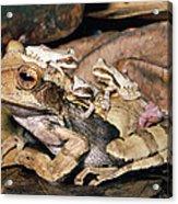 Marsupial Frog Gastrotheca Ovifera Acrylic Print