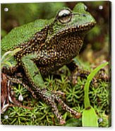 Marsupial Frog Gastrotheca Sp, A Newly Acrylic Print