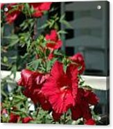 Martha's Vineyard Red Hibiscus And Porch Acrylic Print
