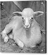 Marys Little Lamb... Or Kid In Black And White Acrylic Print